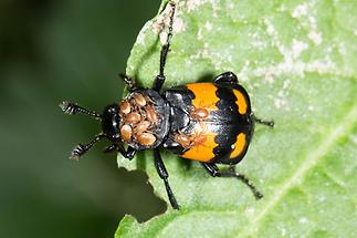 Nicrophorus vespilloides - Schwarzhörniger Totengräber, Käfer auf Blatt (1)