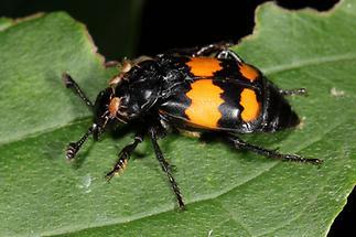 Nicrophorus vespilloides - Schwarzhörniger Totengräber, Käfer auf Blatt (2)