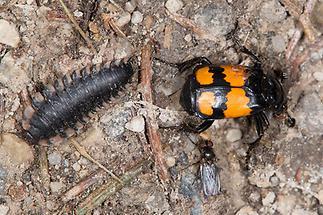 Nicrophorus vespilloides - Schwarzhörniger Totengräber, Käfer und Larve