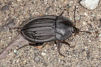 Phosphuga atrata - Schwarzer Schneckenjäger, Käfer auf Fahrweg