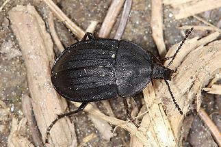 Phosphuga atrata - Schwarzer Schneckenjäger, Käfer auf Waldweg