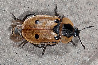 Xylodrepa quadripunctata - Vierpunktiger Aaskäfer, Käfer am Balkon (1)