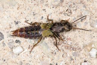 Abemus chloropterus - kein dt. Name bekannt, Käfer auf Fahrweg
