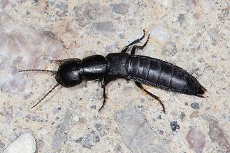 Ocypus sp. - kein dt. Name bekannt, Käfer auf Mauer (1)