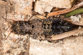 Ontholestes haroldi - kein dt. Name bekannt, Käfer auf Waldboden (1)