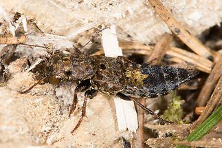 Ontholestes haroldi - kein dt. Name bekannt, Käfer auf Waldboden (2)