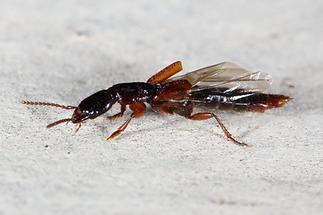 Othius punctulatus - Punktierter Mulmkurzflügler, Käfer auf Klostermauer (2)