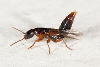 Othius punctulatus - Punktierter Mulmkurzflügler, Käfer auf Klostermauer (3)