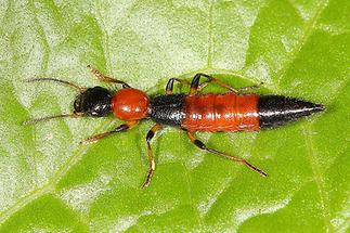 Paederus schönherri - Uferräuber, Käfer auf Blatt (1)