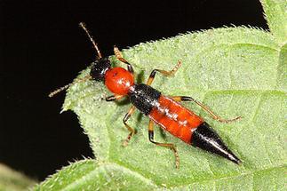 Paederus schönherri - Uferräuber, Käfer auf Blatt (2)
