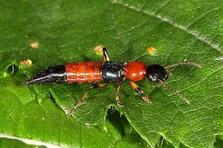 Paederus cf. schönherri - Uferräuber, Käfer auf Blatt (3)