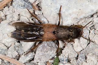 Platydracus chalcocephalus - kein dt. Name bekannt, Käfer auf Weg (1)