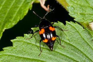 Scaphidium quadrimaculatum - Vierfleck-Kahnkäfer, Käfer auf Blatt
