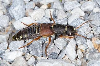 Staphylinus dimidiaticornis - Rotflügeliger Moderkäfer, Käfer auf Schotter (2)