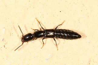 cf. Lathrobium sp. - kein dt. Name bekannt, Käfer auf Klostermauer