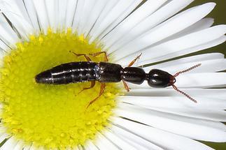 cf.Leptacinus sp. - kein dt. Name bekannt, Käfer auf Gänseblümchen