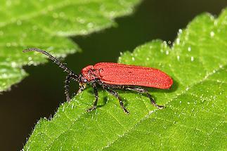 Dictyopterus aurora - Scharlachroter Netzkäfer, Käfer auf Blatt (1)