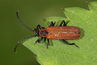 Platycis cosnardi - kein dt. Name bekannt, Käfer verbreitet, aber selten