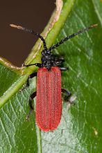 Platycis minutus - kein dt. Name bekannt, Käfer auf Blatt