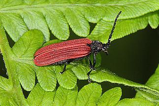 Pyropterus nigroruber - kein dt. Name bekannt, Käfer auf Blatt, selten