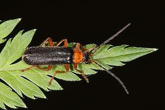 Cantharis fulvicollis - kein dt. Name bekannt, Käfer auf Blatt