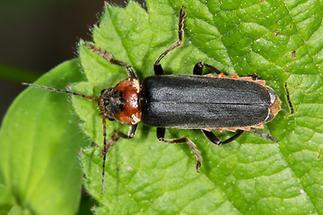 Cantharis fusca - Gemeiner Weichkäfer, Käfer auf Blatt (2)