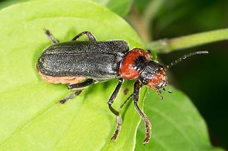 Cantharis fusca - Gemeiner Weichkäfer, Käfer auf Blatt (3)