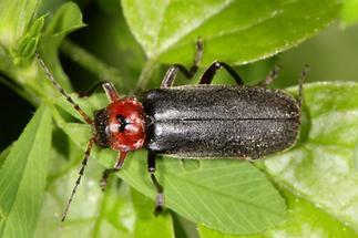 Cantharis fusca - Gemeiner Weichkäfer, Käfer auf Blatt (4)
