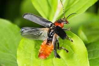 Cantharis fusca - Gemeiner Weichkäfer, Käfer beim Abflug