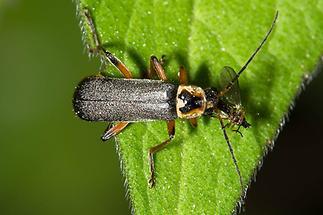 Cantharis nigricans - Graugelber Weichkäfer, Käfer auf Blatt (3)