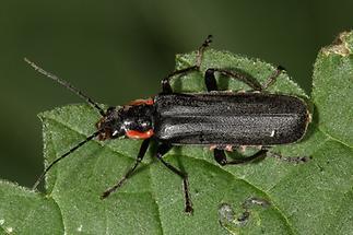 Cantharis obscura oder paradoxa oder liburnica - Eichenweichkäfer, Dunkler Fliegenkäfer, Käfer auf Blatt (2)