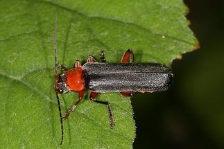 Cantharis pellucida - Rotschwarzer Weichkäfer (1)