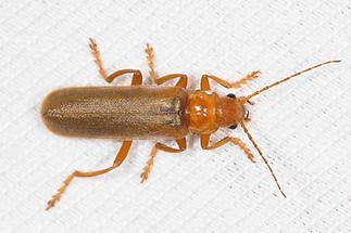 Cantharis rufa - Roter Fliegenkäfer, Käfer im Lichtfang