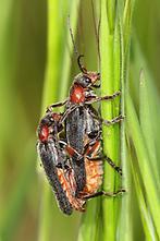 Cantharis rustica - kein dt. Name bekannt, Käfer Paar auf Gräser