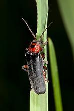 Cantharis rustica - kein dt. Name bekannt, Käfer auf Gras