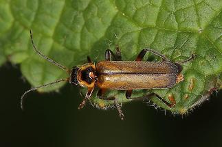 Cantharis terminata - kein dt. Name bekannt, Käfer auf Blatt