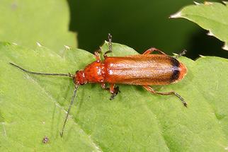 Rhagonycha fulva - Roter Weichkäfer