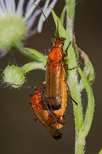 Rhagonycha fulva - Roter Weichkäfer, Käfer Paar (1)