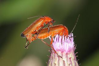 Rhagonycha fulva - Roter Weichkäfer, Käfer Paar (2)