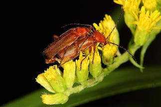 Rhagonycha fulva - Roter Weichkäfer, Käfer Paar (3)