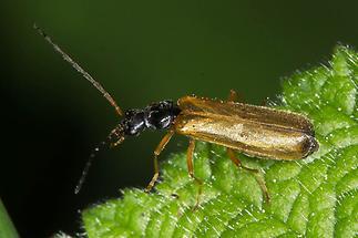 Rhagonycha lignosa - Bleicher Fliegenkäfer, Käfer auf Blatt