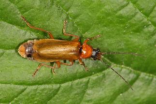 Rhagonycha nigriceps - kein dt. Name bekannt, Käfer auf Blattoberseite