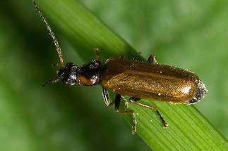 Rhagonycha nigriventris - kein dt. Name bekannt, Käfer auf Gras