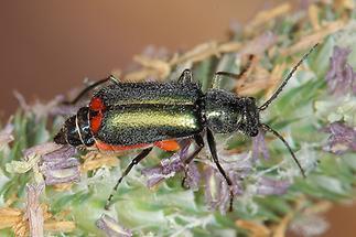 Clanoptilus cf. geniculatus - kein dt. Name bekannt, Käfer auf Blüten (1)