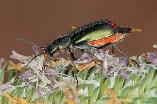 Clanoptilus cf. geniculatus - kein dt. Name bekannt, Käfer auf Blüten (2)
