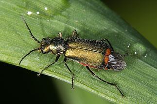 Cordylepherus bipustulatus - kein dt. Name bekannt, Käfer auf Gras