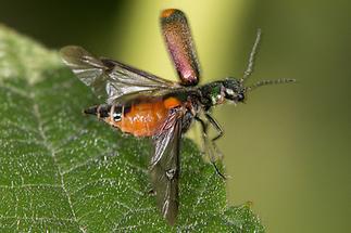 Cordylepherus bipustulatus - kein dt. Name bekannt, Käfer beim Abflug
