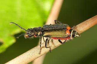 Malachius bipustulatus - Zweifleckiger Zipfelkäfer