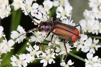 Malachius bipustulatus - Zweifleckiger Zipfelkäfer, Käfer Männchen auf Blüten (1)