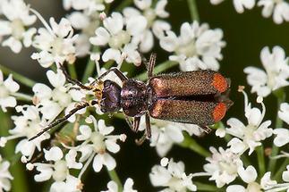 Malachius bipustulatus - Zweifleckiger Zipfelkäfer, Käfer Männchen auf Blüten (2)